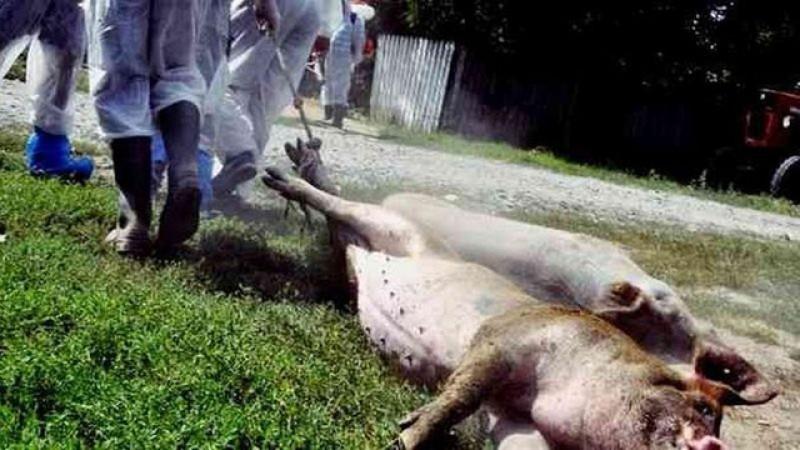 2019, anul în care pesta porcină africană a decimat peste jumătate de milion de porci în România