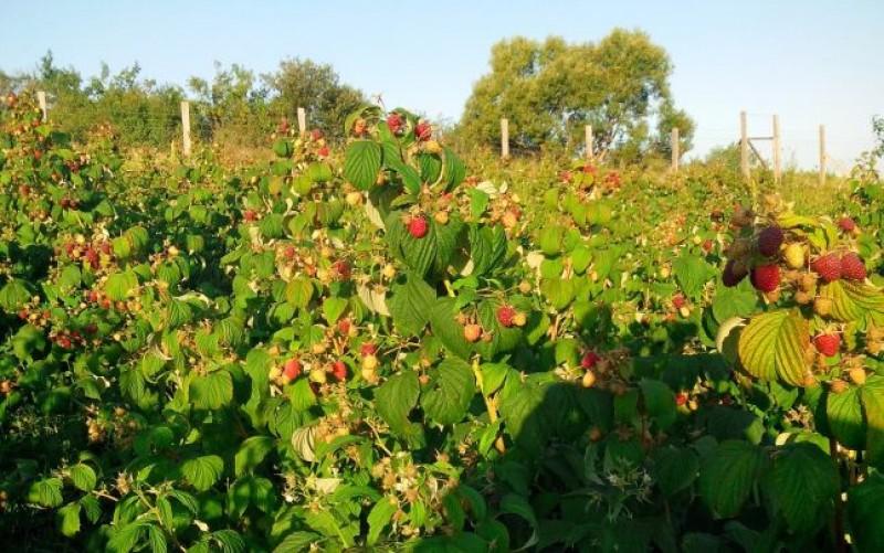 300 locuri de muncă in domeniul agricol (recoltare zmeura) in Portugalia prin intermediul Reţelei EURES