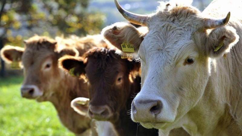 A început perioada de depunere a cererilor pentru ajutorul de stat pentru creșterea animalelor
