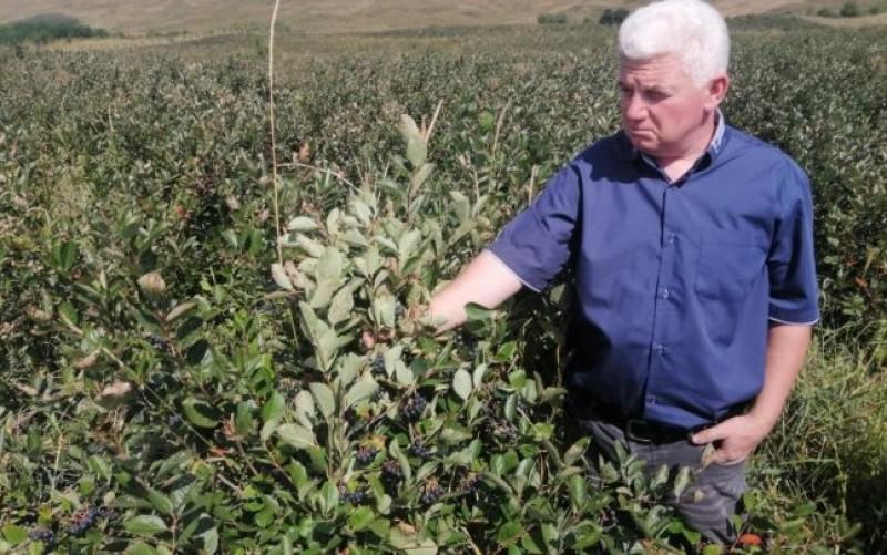 Afacere profitabilă în Botoșani, cu o plantă minune adusă din America. Ce spun producătorii despre calităţile ei