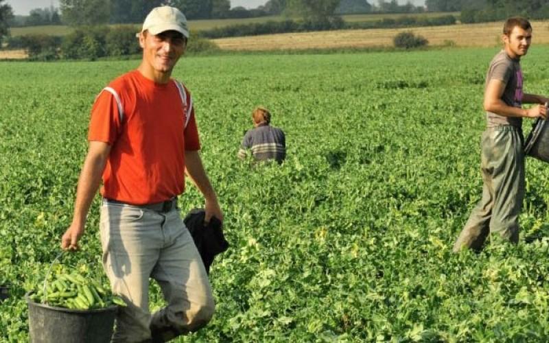 Angajatorii din Danemarca anunță locuri de muncă în agricultură, la cules de mazăre - Cum poți accesa oferta!
