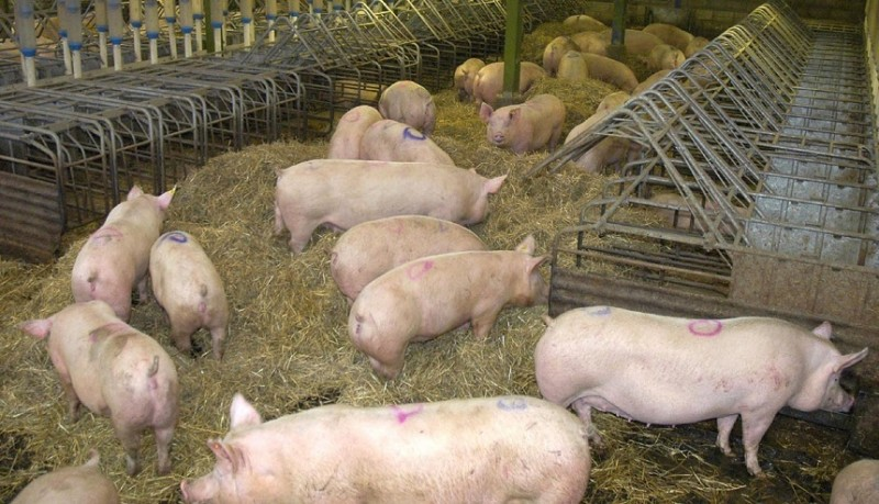 ANSVSA: Pesta porcină africană evoluează în 301 localităţi din 19 judeţe. Au fost achitate despăgubiri de peste 251 de milioane de lei
