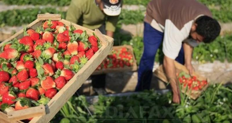Anunț al AJOFM Botoșani: O companie spaniolă caută 600 de femei și 150 de cupluri, pentru cules fructe