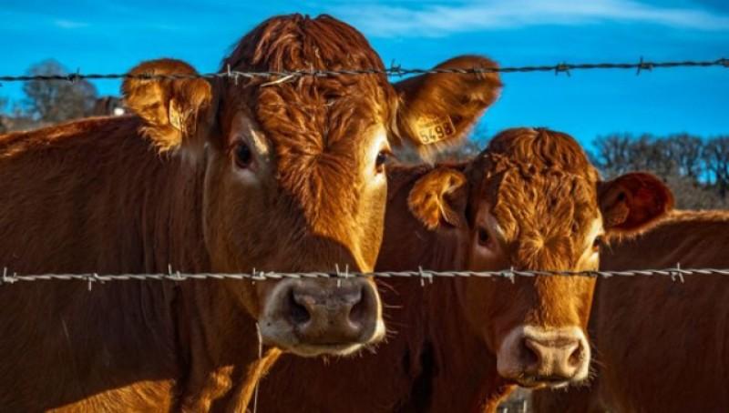 APIA Botoșani primește cereri de solicitare a ajutorului de stat pentru susținerea activității crescătorilor din sectorul bovin