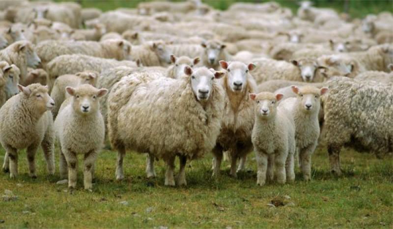 APIA Botoșani - Termen prelungit pentru crescătorii de ovine și caprine