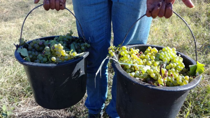APIA primește cereri de solicitare a ajutorului de stat pentru sectorul vitivinicol în contextul crizei COVID-19