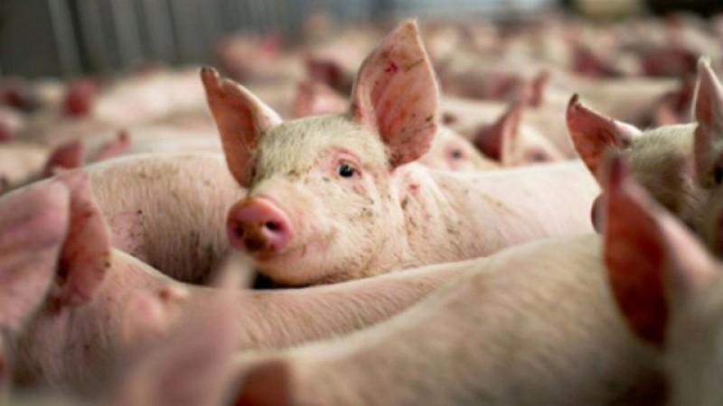 APIA primește de astăzi cererile de plată pentru anul 2020, pentru sprijinul acordat de stat pentru creșterea porcinelor și a păsărilor