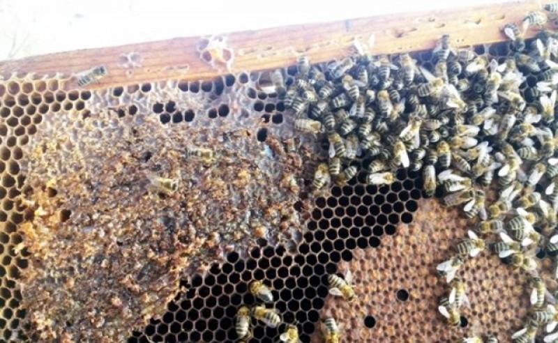 Apicultorii se tem că din cauza iernii jumătate din albine vor muri. Prețul la miere va crește