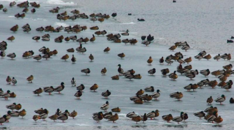 Reprezentanţii APM atrag atenţia asupra necesităţii protejării păsărilor migratoare