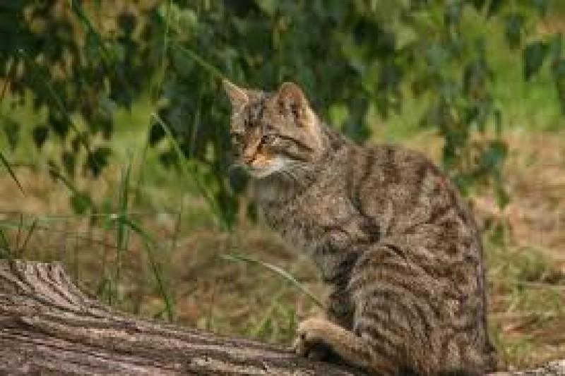 Aprilie-mai, la Botoșani: Evaluarea anuală a efectivelor de pisică sălbatică, specie strict protejată!