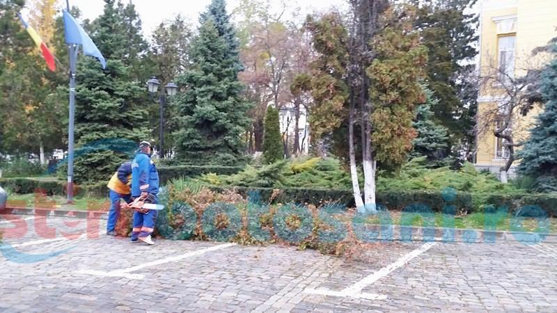 Arborii de tuia din fața Primăriei Botoșani, puși la pământ-FOTO