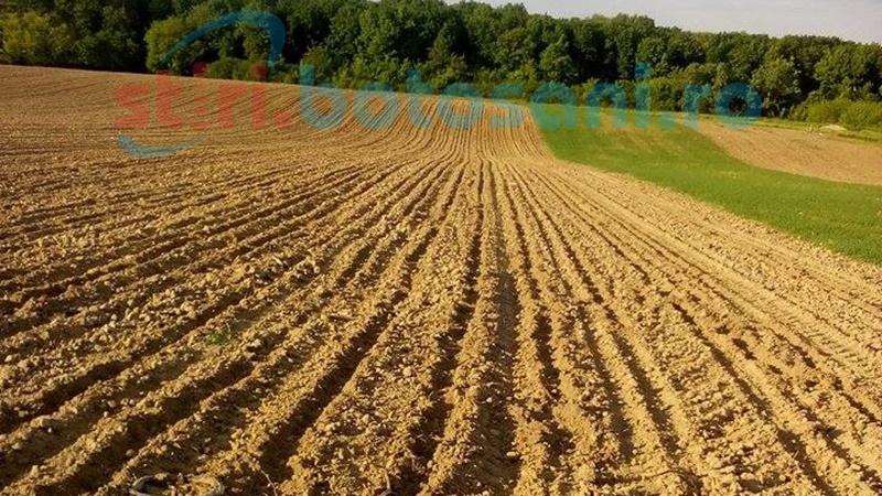 Atacul mistreţilor! Hectare de culturi de porumb distruse de animale, agricultori epuizaţi de birocraţie ! FOTO