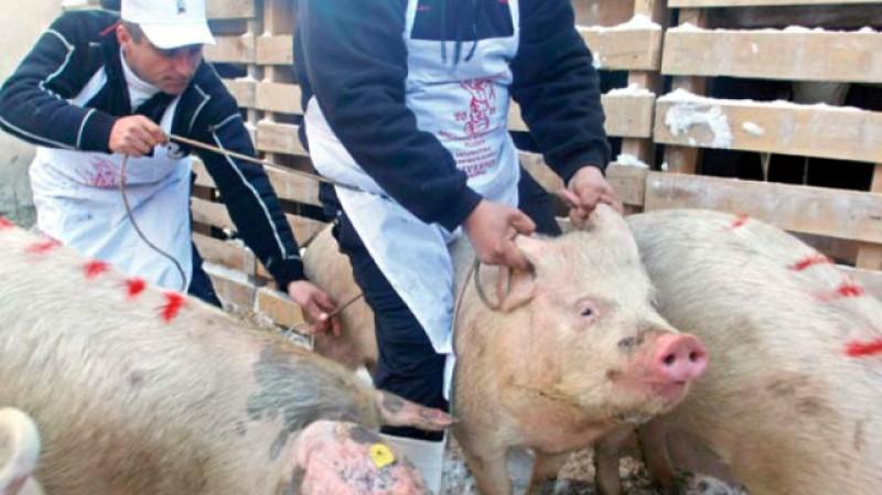 Autoritățile, pe jar din cauza noului focar de pestă porcină de la granița județului. Două comune din Botoșani sunt direct afectate de apariția noului focar