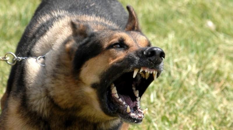 Autoturism atacat de un câine agresiv de talie mare!