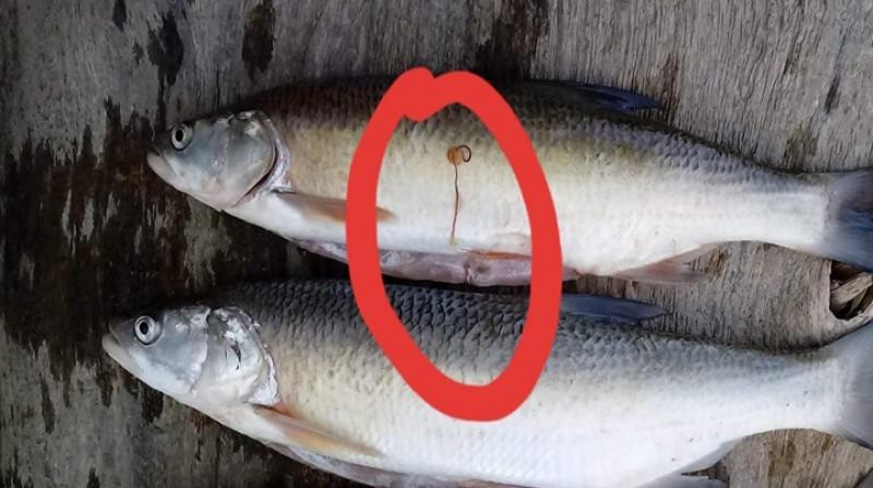 Aveți mare grijă! Peștii din Prut sunt infectați cu un vierme extrem de periculos pentru om!