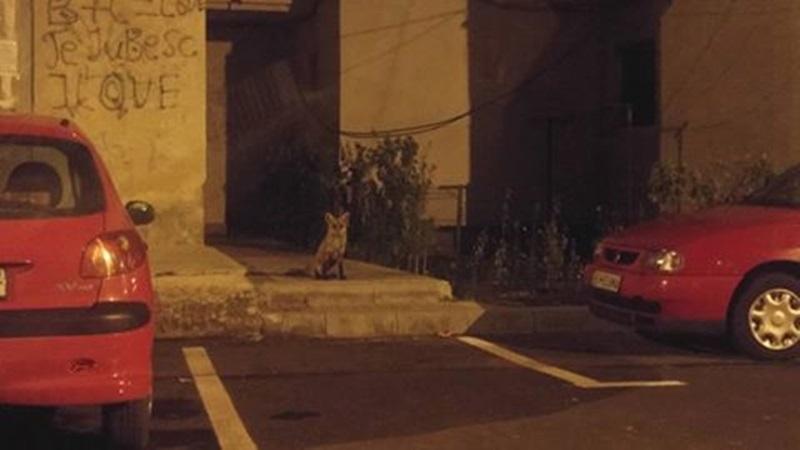 """Bloc din Botoşani """"păzit"""" în miez de noapte de o vulpe! FOTO"""
