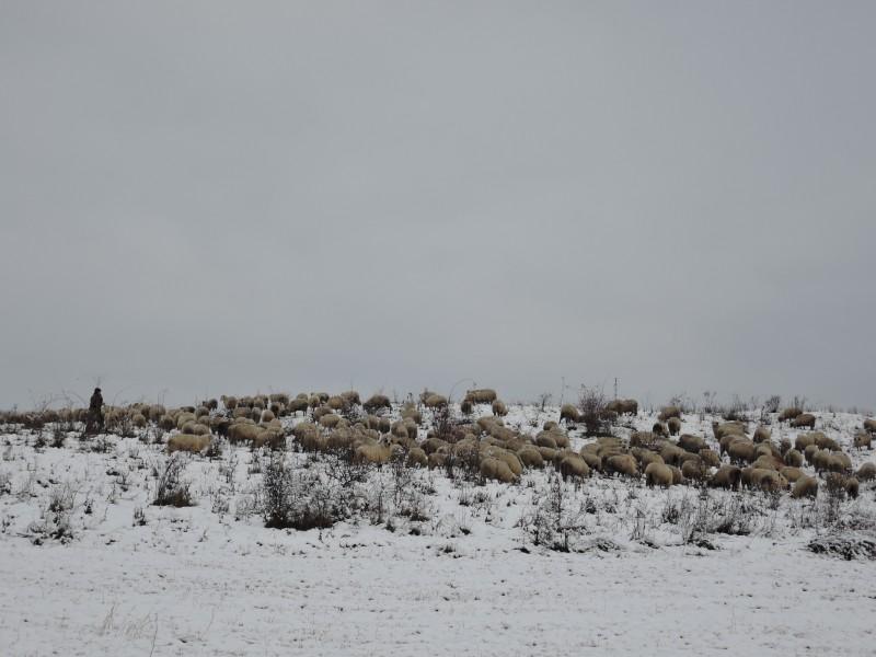 Botoșănean dat în urmărire generală, găsit de polițiștii de frontieră păscând oile!