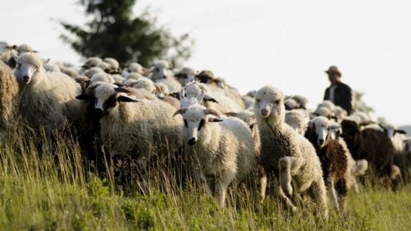 Botoşani: Crescătorii de oi, greu de convins să se înscrie pentru ajutorul de minimis pentru lână