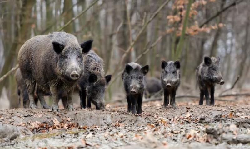 Botoșani: Două focare de pestă porcină africană din județ au fost stinse, însă alte opt la mistreț au rămas active