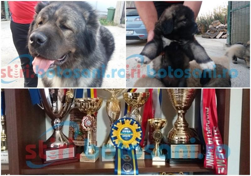 Botoşani: O poveste cu un campion european: Ahab, Caucazianul care câştigă toate premiile în competiţiile de profil FOTO- VIDEO