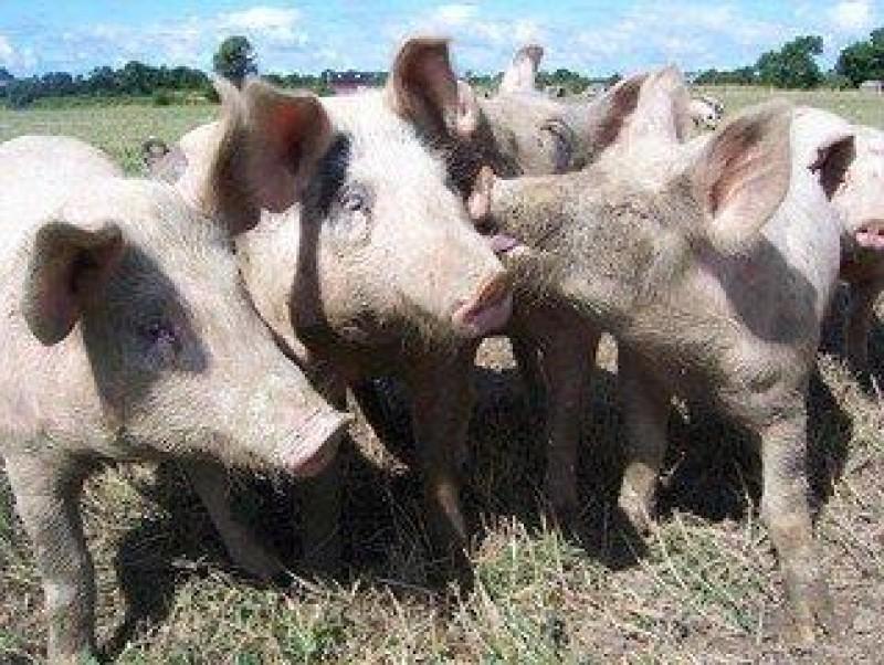 Cadavre de porci la marginea unor localităţi din Botoșani, după apariţia pestei porcine