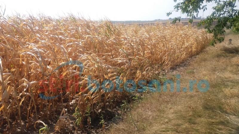 Cantităţile de precipitaţii înregistrate la nivelul judeţului Botoşani, binevenite în culturile agricole