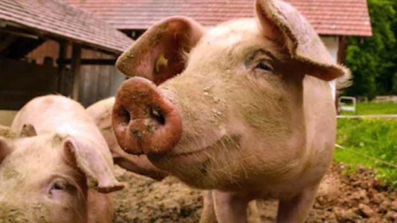 Căutați adevăruri? Specialiştii veterinari consideră că ar trebui să se renunţe la creşterea tradiţională a porcilor în coteț!