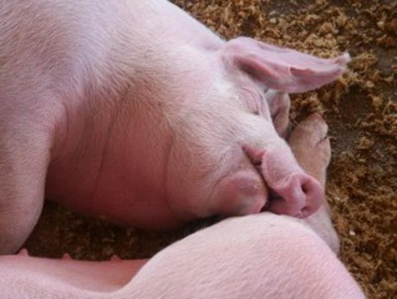 Caz de antrax la porc, confirmat într-o gospodărie din Botoşani. DSVSA: Lucrurile sunt sub control