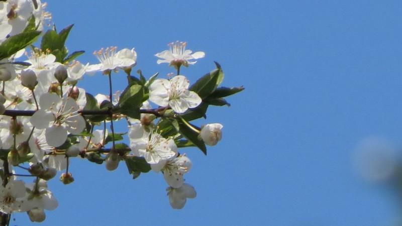 Ce tratamente se aplică în livadă când pomii sunt înfloriți