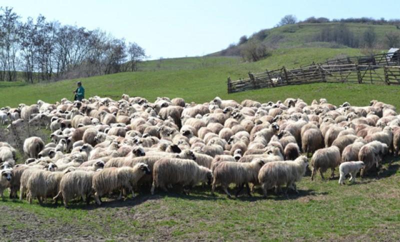Crescătorii de oi din județ încep să încaseze banii de subvenție