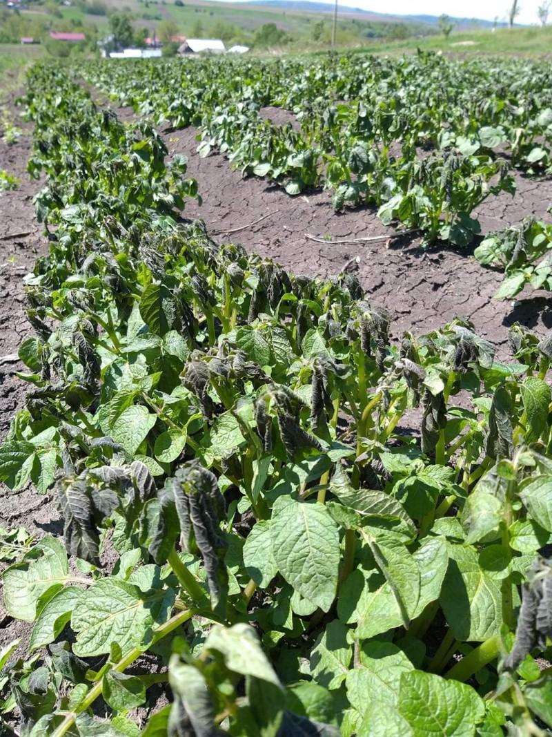 Culturi agricole din județul Botoșani, afectate de brumă