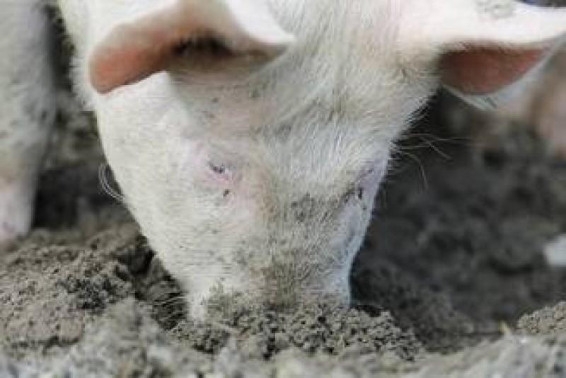 Cum au disparut zeci de mii de porci din rezerva nationala?