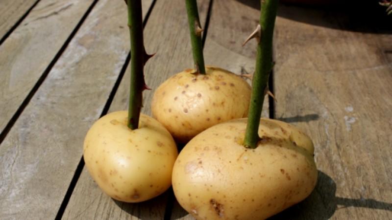 Cum înmulțim trandafirii cu ajutorul cartofilor