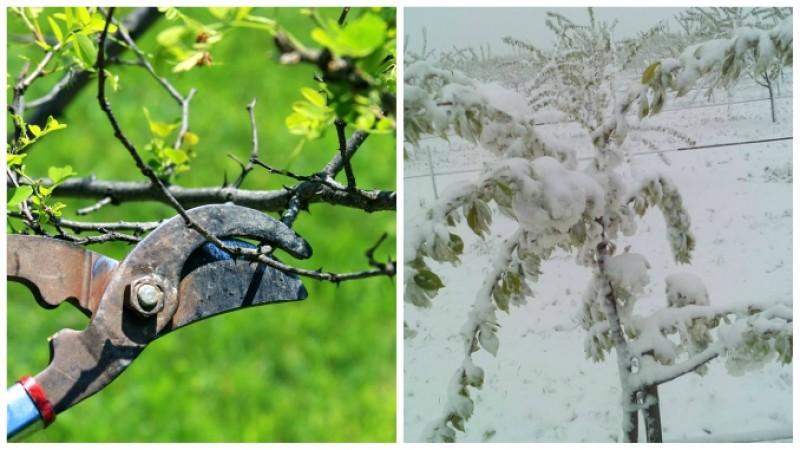 Cum salvăm pomii afectați de ger sau grindină, pentru a nu pierde producția de fructe!