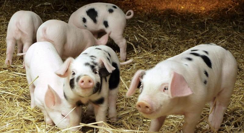 Daea nu se lasă! Obligă ţăranii să-şi facă firmă dacă vor mai mult de 5 porci în gospodărie