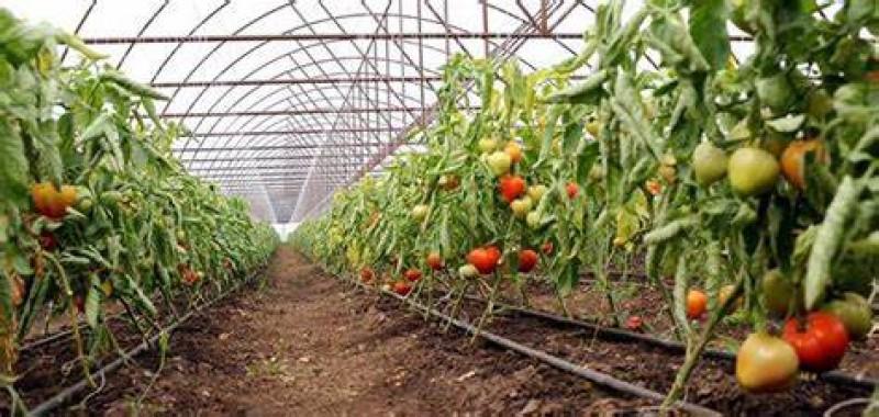 DAJ Botoșani: Ajutorul de minimis pentru cultura de tomate în spații protejate s-a achitat