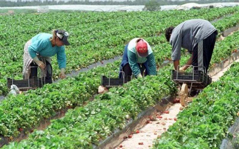 Danezii caută români dornici să lucreze la cules căpșuni, cartofi și mazăre!