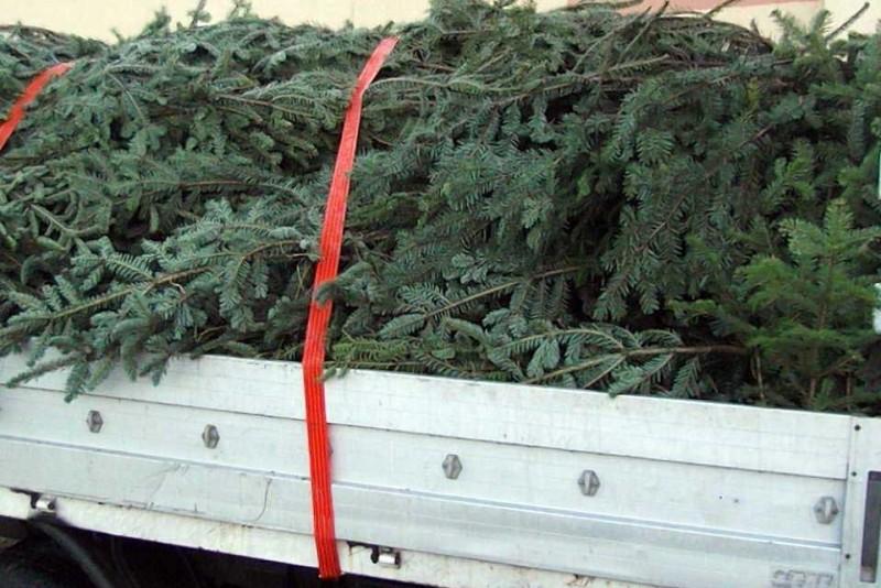 Dărăbănean care transporta brazi de Crăciun, tras pe dreapta de polițiștii suceveni!