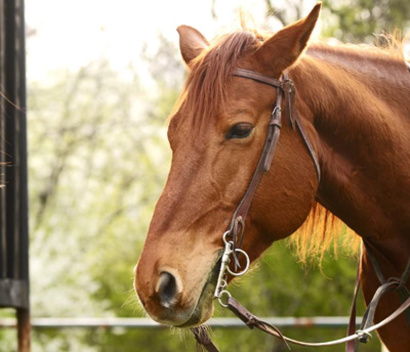 Dărăbănean de 75 de ani, cercetat penal: A furat calul unui sătean din Păltiniș!