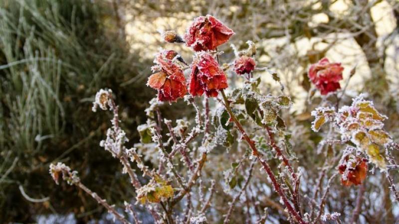 De folos: Pregătirea trandafirilor pentru iarnă. Cum protejăm rozele de îngheț