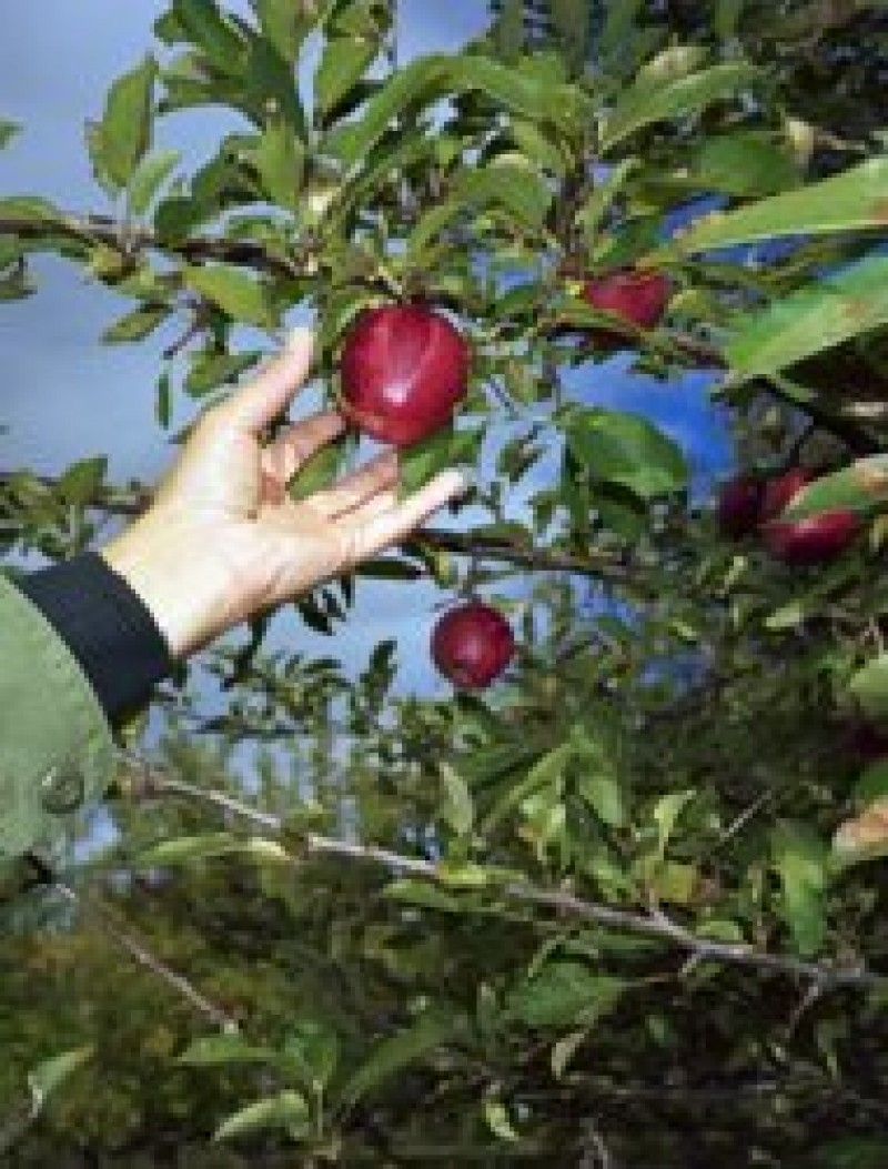 De sezon: Reguli de urmat atunci când plantezi un pom fructifer