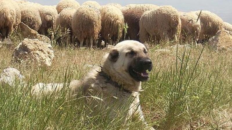 DECIZIE FINALĂ: Care este numărul de câini permiși la turma de oi!