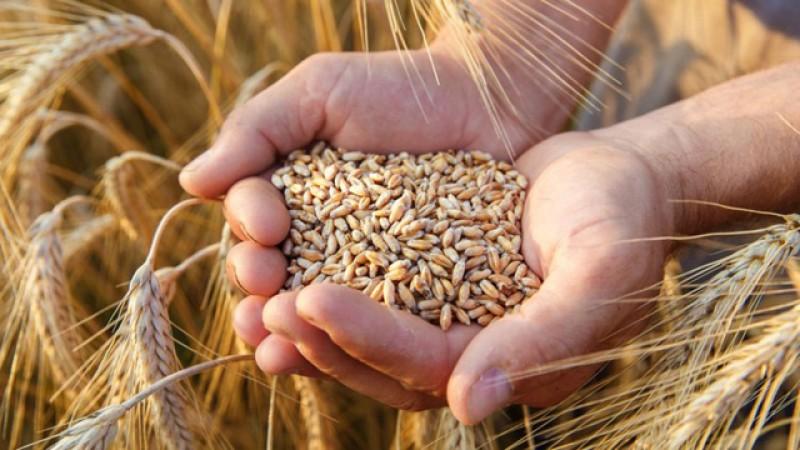 Din cauza secetei prelungite producțiile de grâu sunt în România la jumătate față de anii trecuți