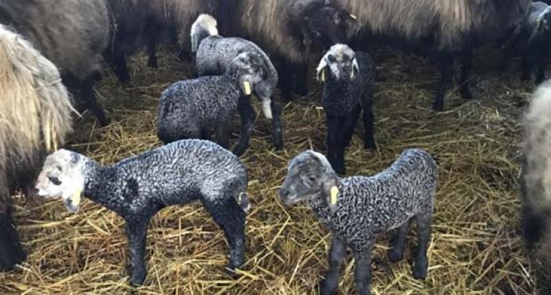 Doar doi solicitanți de la Botoșani au primit ajutor de stat pentru ameliorarea raselor de animale