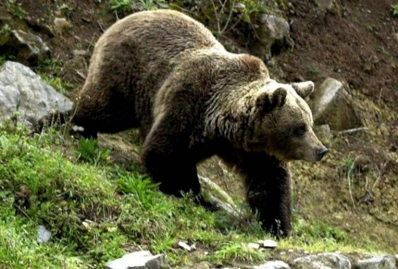 Doi ciobani din Harghita au fost internaţi la spital, fiind atacaţi de urs