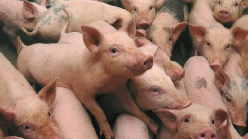 Două ţări europene vor construi un gard la graniţă pentru a împiedica răspândirea pestei porcine