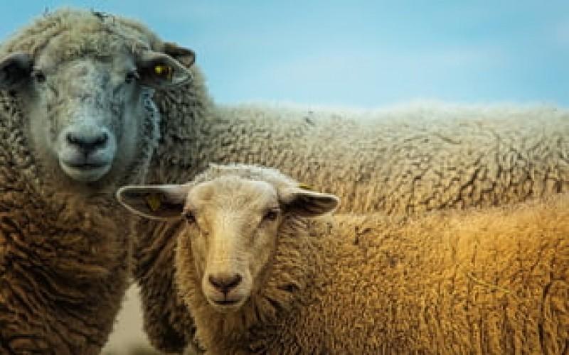 Dupa pesta porcina, urmeaza apocalipsa oilor? Sute de rumegatoare au fost ucise pentru a impiedica raspandirea scrapiei