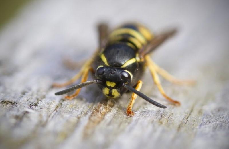 Feriți-vă de aceste insecte! Vara aceasta sunt mai agresive ca niciodată, avertizează medicii!