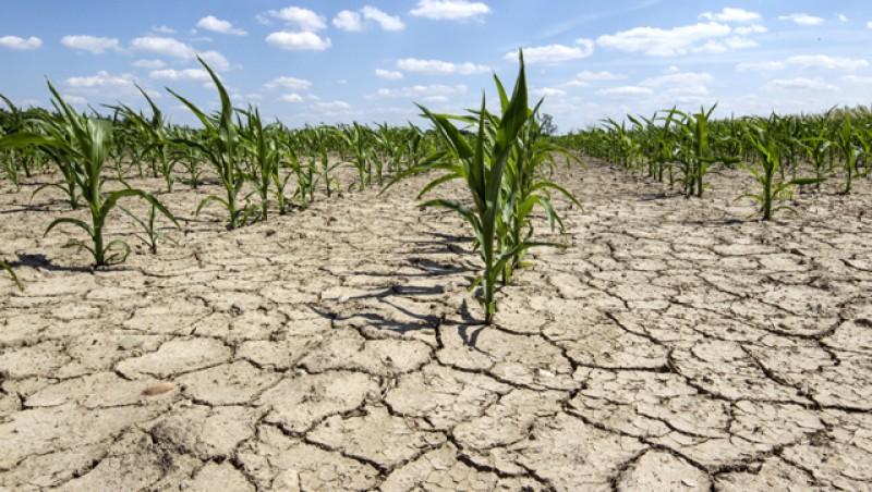 Fermierii vor fi despăgubiți pentru pagubele produse de secetă