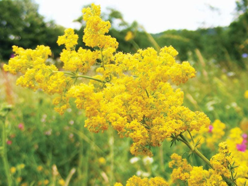 Floarea Sfântului Ioan: Ce tratamente poți prepara din sânziene!